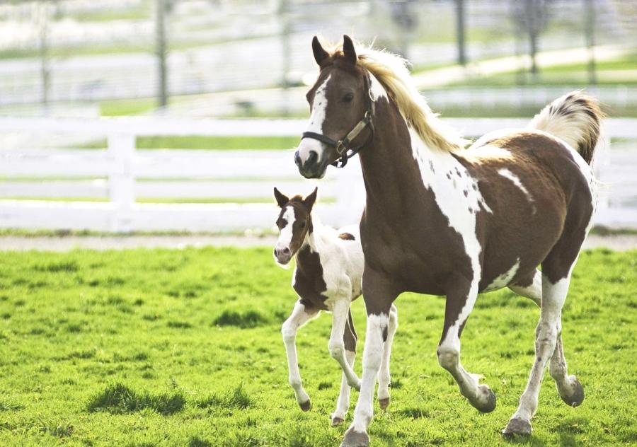 égua, ponei